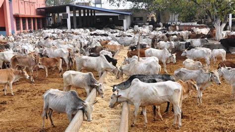 kill  cows   pm   cm gau rakshaks