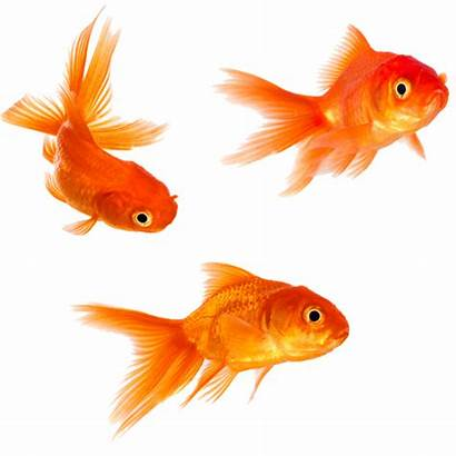 Goldfish Transparent Fish Clipart Background Water Pngimg