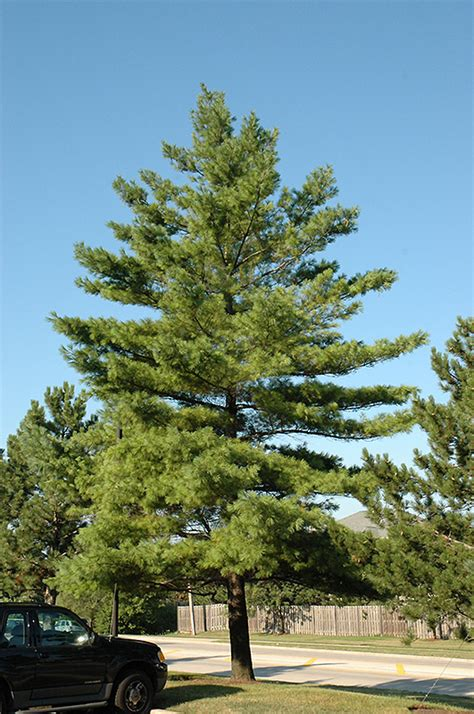 eastern white pine pinus strobus  inver grove heights