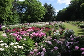 Visit to the Peony Gardens, Nichols Arboretum (University ...