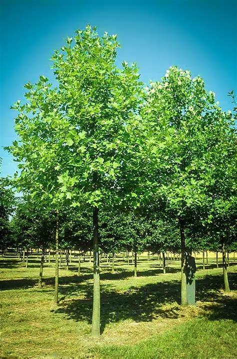 hybrid poplar  sale   tree center