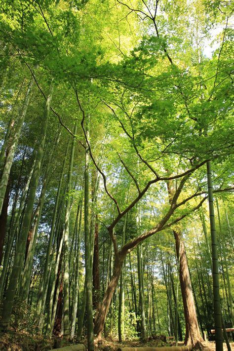 bamboo  tree canopy photo  kazuend atkazuend  unsplash