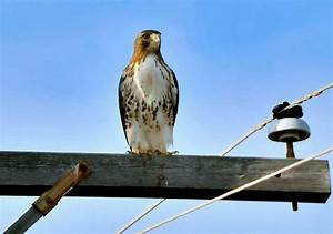 Front view of Red Tail Hawk | BIRDS | Pinterest