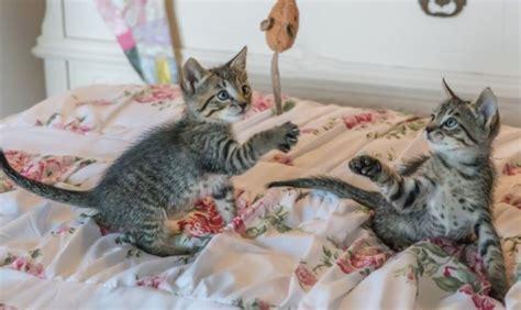 rough kitten play hshv