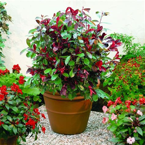 25 best ideas about photinia robin on robin hedge robin bush and hedges