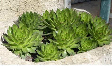 piante grasse da terrazzo piante da balcone resistenti al freddo e al caldo casafacile