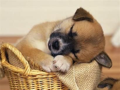 Dog Dogs Wallpapers Puppy Animals Desktop Animal