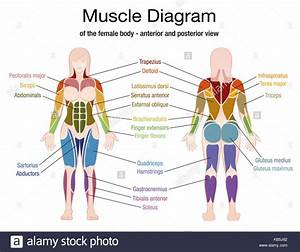 Body Muscles Anatomy Stock Photos  U0026 Body Muscles Anatomy
