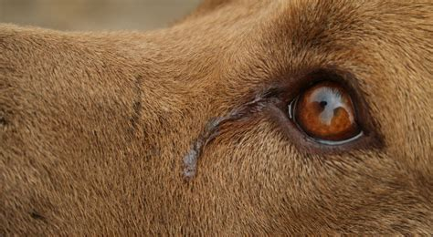 dogs cry  dogs show emotion     bad