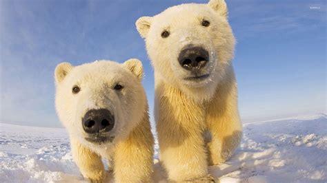 Animal Cubs Wallpapers - polar cubs wallpaper animal wallpapers 27729