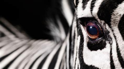Permalink to Fantasy Zebra Wallpaper