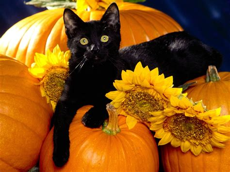 pumpkin for cats images playful pets hd wallpaper and background