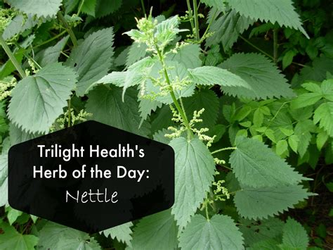Herb Of The Day Nettle Allergy Relief