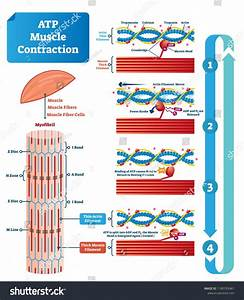 Atp Muscle Contraction Cycle Vector Illustration Stock