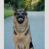 German Shepherd Face Profile | 529 x 640 jpeg 48kB