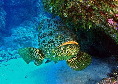 grouper goliath atlantic wikipedia fish groupers itajara jew wiki reef belize kinds grow different largest they