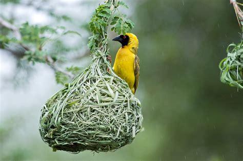 weaver bird file southern masked weaver jpg wikimedia commons