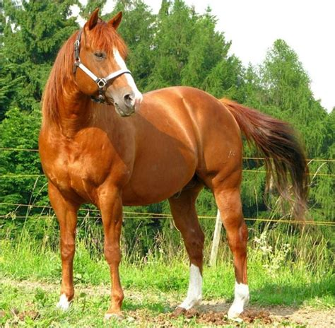 horse quarter american breeds horses most facts different popular colors grabberwocky breed expensive animal interesting gorgeous characteristics history types fastest
