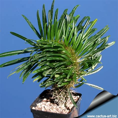 Tropical Nursery by Pachypodium Lamerei Forma Cristata