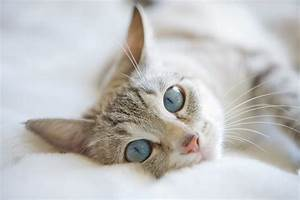 Fluffy White Cat Blue Eyes Hd White Cat Blue Eyes Image ...