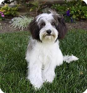 RAMSEY | Adopted Puppy | Newport Beach, CA | Havanese ...