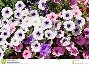 Blumen Im Sommer : sommer petunie blumen lizenzfreie stockfotos bild 29664108 ~ Whattoseeinmadrid.com Haus und Dekorationen