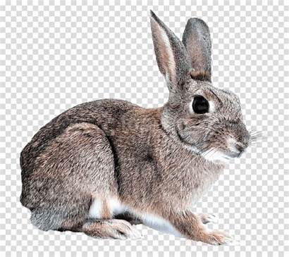 Rabbit Cottontail Clipart Bunny Transparent Jackrabbit Cruelty