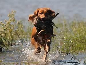 Nova Scotia Duck Tolling Retriever Info, Puppies, Mix ...