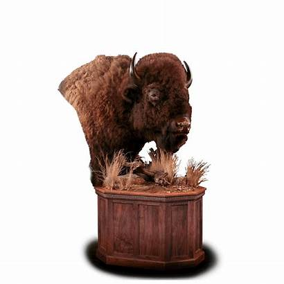 Bison Pedestal Taxidermy Mount Kanati Grasses Dimension