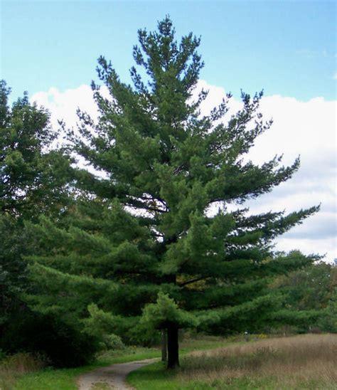 "Eastern White Pine 18""-26"" (10/bundle)"
