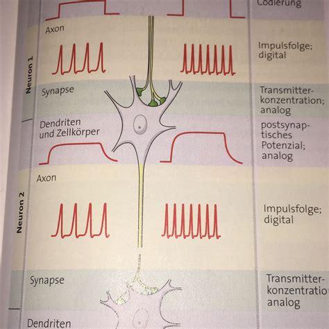 Frequenz der Impulse bestimmt stärke des Reizes? (Medizin ...