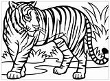 Coloring Tigers Pages Print Children Animals sketch template