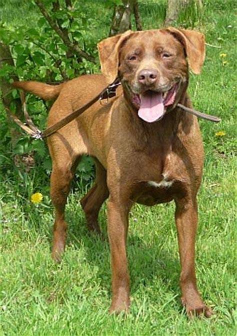 tiervermittlung labrador braun frankreich lieb hunde