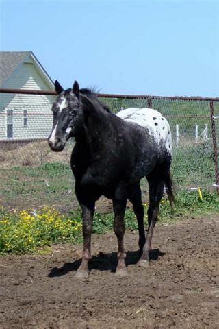 hd animals wallpapers beautiful black appaloosa horse