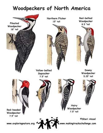 woodpecker poster exploring nature educational resource