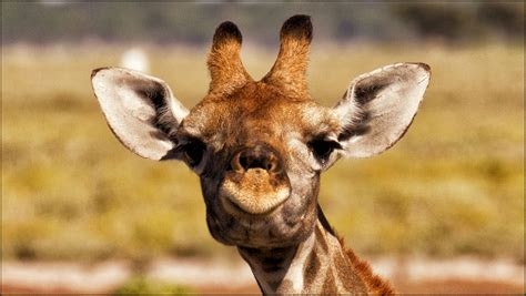 Animal Wallpaper For Walls - giraffe hd wallpaper and background image 2048x1156