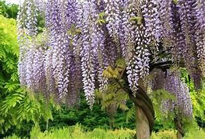 Baum Mit Blüten : blumen mit duft f r ihren garten die top 10 mit bildern ~ Frokenaadalensverden.com Haus und Dekorationen