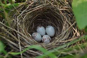 Song Sparrow Nest with Four Eggs | Melospiza melodia ...