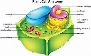 Vacuole For Kids