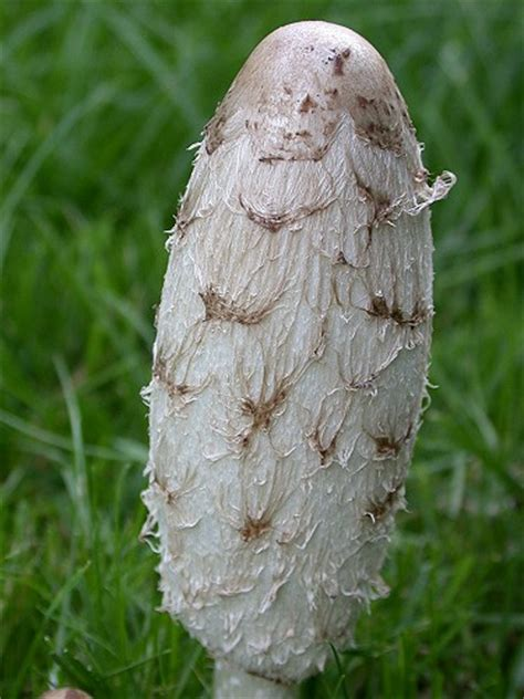 Große Weiße Pilze Im Garten by Pilze Im Rasen Schopftintling Bilder Fotos Coprinus