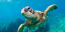A Simple Step to Save Sea Turtles | HuffPost