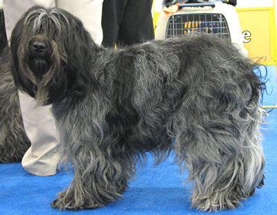 dutch schapendoes dog herding dog breeds