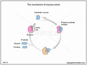 The Mechanism Of Enzyme Action Illustrations