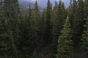 Coniferous Forest Definition - Bird Habitats