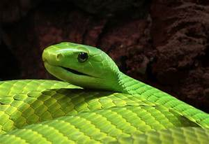 Reptile Facts - The Eastern Green mamba (Dendroaspis ...