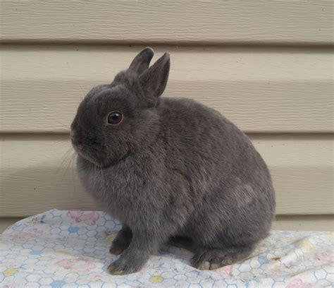 netherland dwarfs beauty rabbitry