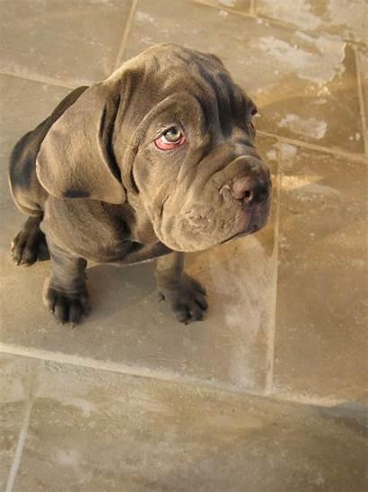Mastiff Neapolitan Dog Neopolitan Breeds Mastiffs Dogs