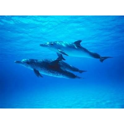 Atlantic Spotted Dolphin – OCEAN TREASURES Memorial Library