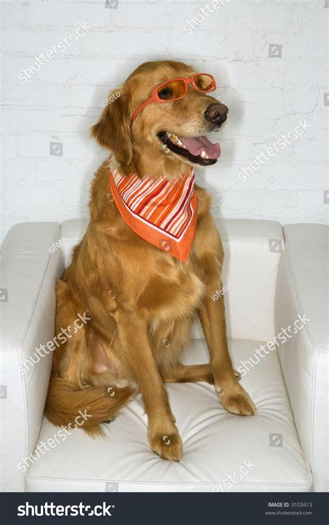 Golden Retriever Dog Wearing Sunglasses Bandana Stock