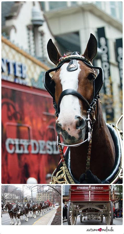 budweiser clydesdales shoot chicago editorial